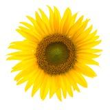 Солнцецвет полного цветения Стоковые Изображения