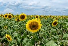 Солнцецвет полдня Стоковое фото RF