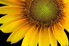Солнцецвет подсвеченный на черной предпосылке Стоковые Фотографии RF