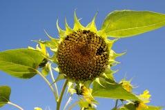 Солнцецвет (подсолнечник) Стоковые Изображения