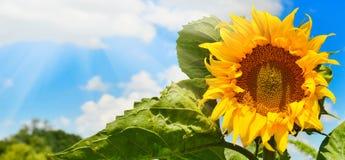 солнцецвет предпосылки близкий вверх Стоковые Изображения
