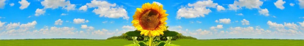 солнцецвет предпосылки близкий вверх Стоковое фото RF
