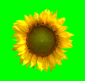 солнцецвет предпосылки зеленый Стоковые Изображения