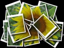 солнцецвет предпосылки черный Стоковое Изображение