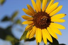 Солнцецвет против голубого неба Стоковое фото RF