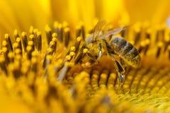 Солнцецвет пчелы меда опыляя Семена и насекомое цветка взгляда макроса ища нектар Малая глубина поля, селективная Стоковые Фото