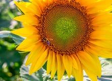 Солнцецвет пчелы меда опыляя Стоковое Изображение