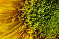 Солнцецвет плюшевого медвежонка Стоковые Фотографии RF
