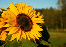 Солнцецвет растя в луге Стоковое фото RF