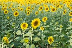 солнцецвет сада Стоковые Фото