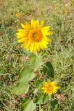 солнцецвет сада Стоковая Фотография RF