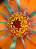 солнцецвет семян цветка предпосылки blossoming Стоковые Изображения