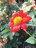 солнцецвет семян цветка предпосылки blossoming Стоковая Фотография RF