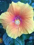 солнцецвет семян цветка предпосылки blossoming Стоковое Изображение RF
