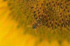 Солнцецвет, селективный фокус стоковое изображение