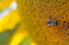 Солнцецвет, селективный фокус стоковые изображения rf
