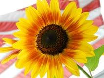 Солнцецвет с американским флагом Стоковая Фотография