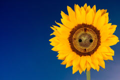 Солнцецвет с гнездом стоковая фотография