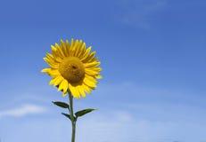 Солнцецвет с голубым небом и красивым солнцем Стоковое Фото
