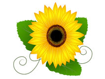 Солнцецвет с листьями Стоковое фото RF