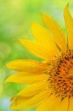 Солнцецвет с падениями росы Стоковое Изображение