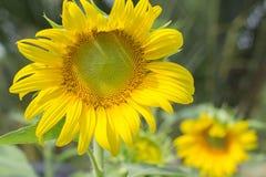 Солнцецвет с предпосылкой неба Стоковое Изображение