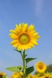 Солнцецвет с предпосылкой неба Стоковое Изображение RF