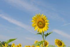 Солнцецвет с предпосылкой неба Стоковая Фотография RF