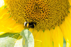 Солнцецвет с шмелем Стоковое Фото