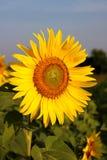 солнцецвет Таиланд стоковая фотография