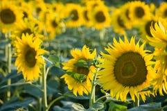 Солнцецвет, Тоскана Стоковое фото RF