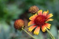 Солнцецвет цветения одичалый с старой Стоковое фото RF
