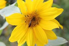 Солнцецвет цветения цветка Стоковое Изображение RF