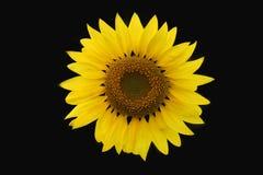 солнцецвет 02 Стоковое Фото