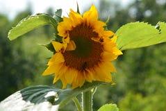 Солнцецвет 2 Стоковая Фотография