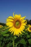 Солнцецвет Стоковое Изображение RF