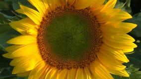 Солнцецвет сток-видео