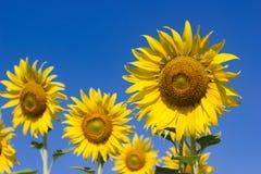 Солнцецвет стоковая фотография rf