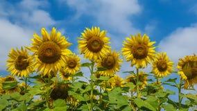 Солнцецвет Стоковое Фото