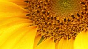 Солнцецвет - annus подсолнечника - HD Стоковое Изображение RF