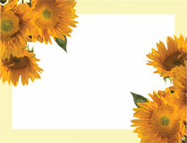 Солнцецвет, annuus подсолнечника, приглашение Стоковые Фото