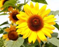 Солнцецвет (annuus подсолнечника) Стоковые Фото