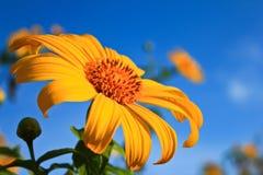 Солнцецвет Maxican с предпосылкой голубого неба стоковые изображения