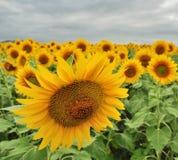 Солнцецвет paria против толпы Стоковые Изображения RF