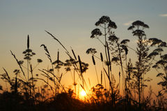 Солнце вечера в траве, заходе солнца. Стоковая Фотография