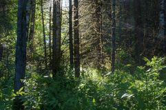 Солнце леса излучает светлый лес деревьев Стоковые Фото