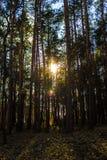 Солнце делает свой путь через лес Стоковые Изображения RF