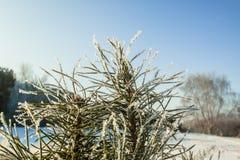 Солнце иглы hoar ветви сосны Стоковая Фотография