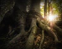 Солнце излучает светить в лесе с большими корнями дерева Стоковая Фотография