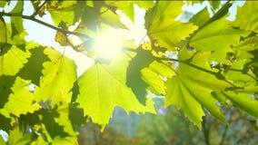 Солнце и листья в 4K видеоматериал